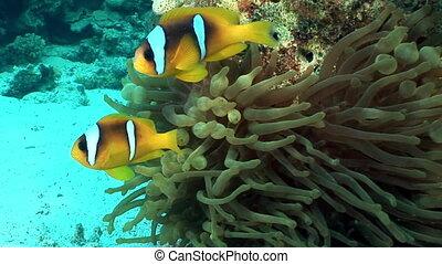 Clown fish bright orange color in Anemone Actinidae underwater Red sea.