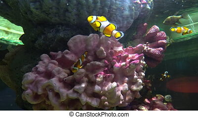 Clown fish hiding among the corals in the sea water.