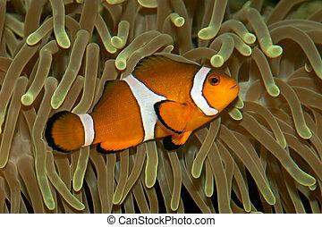 Clown fish hiding in a sea anemone
