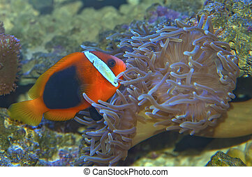 Clown fish in a coral reef