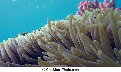 Clown fish in anemone close, Red sea. Egypt. 4K
