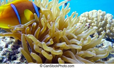 Clown fish in anemone close, Red sea. Egypt