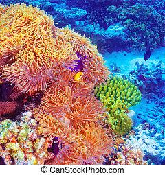 Clown fish in coral garden
