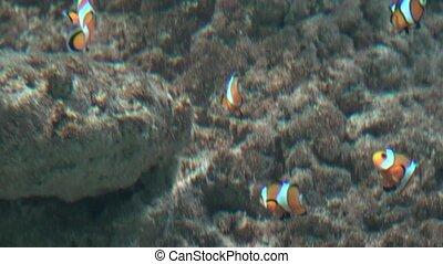 Clown Fish In Fish Tank