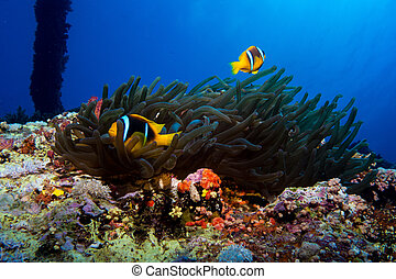 clown fish in the red sea