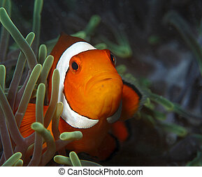 clown fish - Inhabits coral reefs in protected waters, ...