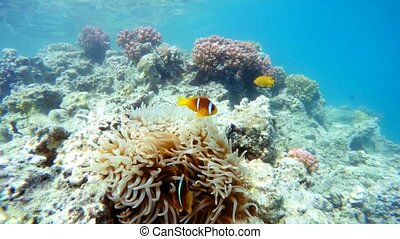 clown fish near sea anemone, Red sea, marsa Alam, Egypt
