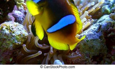 clown fish swimming into Sea Anemone 4K