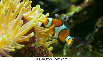 Clown fish. - Topical fish clownfish (Amphiprion Ocellaris)