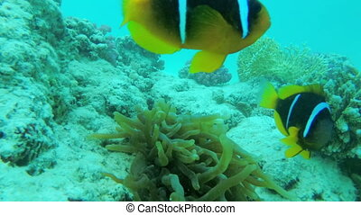 Clown fish underwater near a coral reef. Scuba Diving. The Underwater World of the Red Sea with Colored Fish and a Coral Reef. Tropical reef marine.