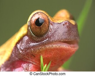 Clown treefrog (Dendropsophus triangulum) - From the ...