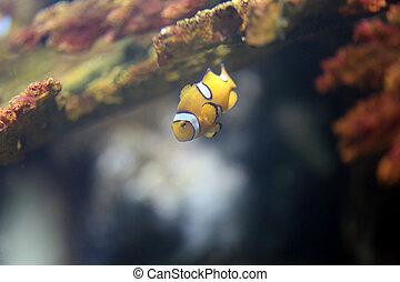 clownfish, 在, 海, 珊瑚礁, area.