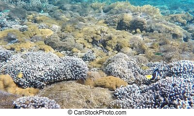 Clownfish aggressively defending their anemone by attacking...