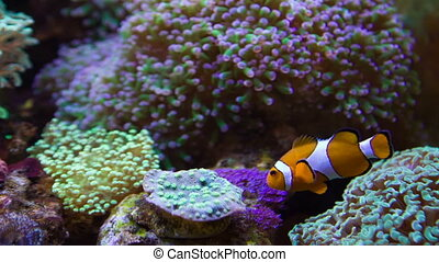 Clownfish and anemones - Colored fishes and plants in...