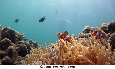 clownfish and diver - clownfish in sea anemone and...