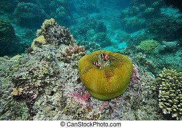 clownfish, anemone