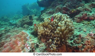 Clownfish Anemonefish in actinia. - Clown Anemonefish in...