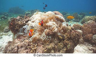 Clownfish Anemonefish in anemone.