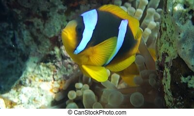 Clownfish family playing in their anemone home.