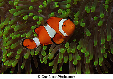 Clownfish in anemone - Amphiprion ocellaris Wakatobi,...