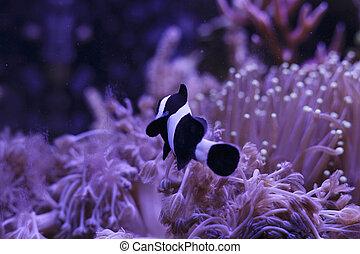Clownfish in Coral garden