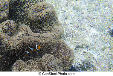 Clownfish in its anemone