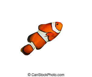 clownfish isolated on white