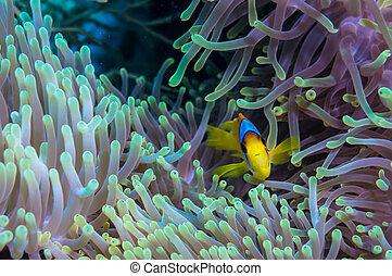 clownfish, y, anémona, en, un, tropical, barrera coralina