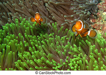 clownfishes, 在, 海葵