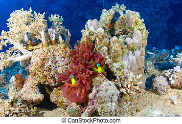 Twoband anemonefishes (Amphiprion bicinctus) on the background of corals in the Red Sea, Egypt.