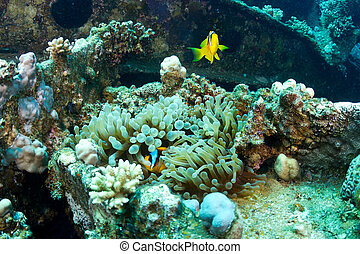 Clownfishes on the wreck - Twoband anemonefishes (Amphiprion...