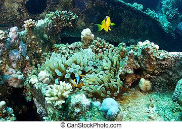 clownfishes, op, de, wrak