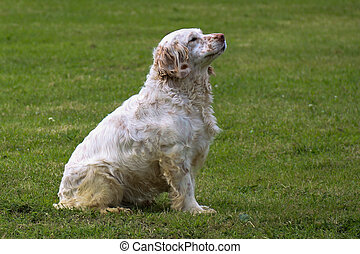 Clumber Spaniel Sitting Dog in a Field