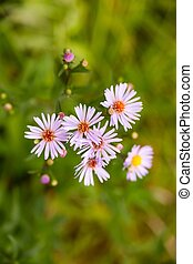 cluster aster light pink with thin petals and orange core on a blurred green background