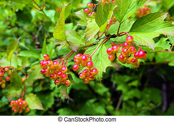 Cluster of a red currant on a branch.