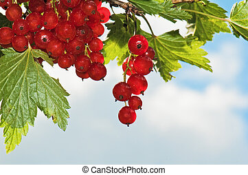 Cluster of a red currant