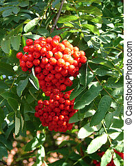 Cluster of a rowan in the autumn