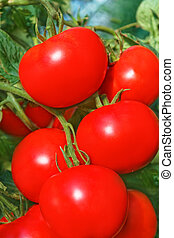 Cluster of big ripe red tomatoes