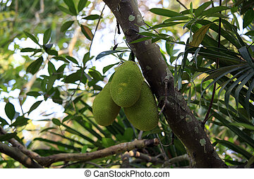 Cluster of breadfruits on the tree - artocarpus altilis -...