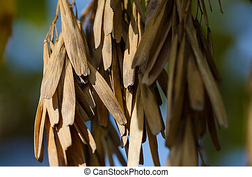 Cluster of Dried Seed Pods Hanging from an Autumn Tree