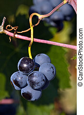 Cluster of grape