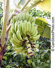 Cluster of green bananas in rain drops