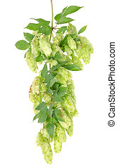 Cluster of hops with leafs isolated