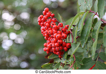 Cluster of mountain ash red berries in autumn
