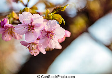cluster of pink plum blossoms 2