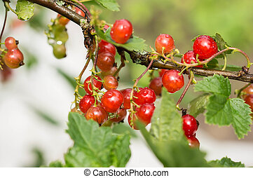 Cluster of red currant on a branch after a rain