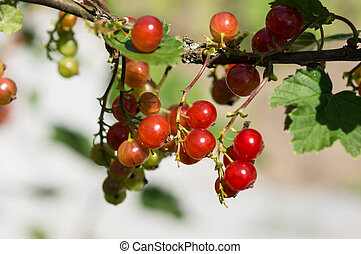 Cluster of red currant on a branch in a summer garden