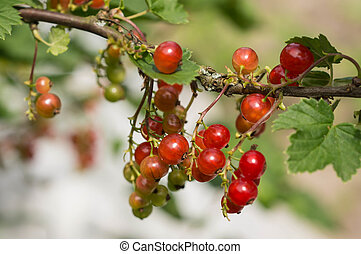 Cluster of red currant on a branch in a sunny day