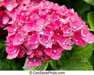 cluster of red hydrangea blossoms 2