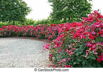 cluster of red roses in a garden
